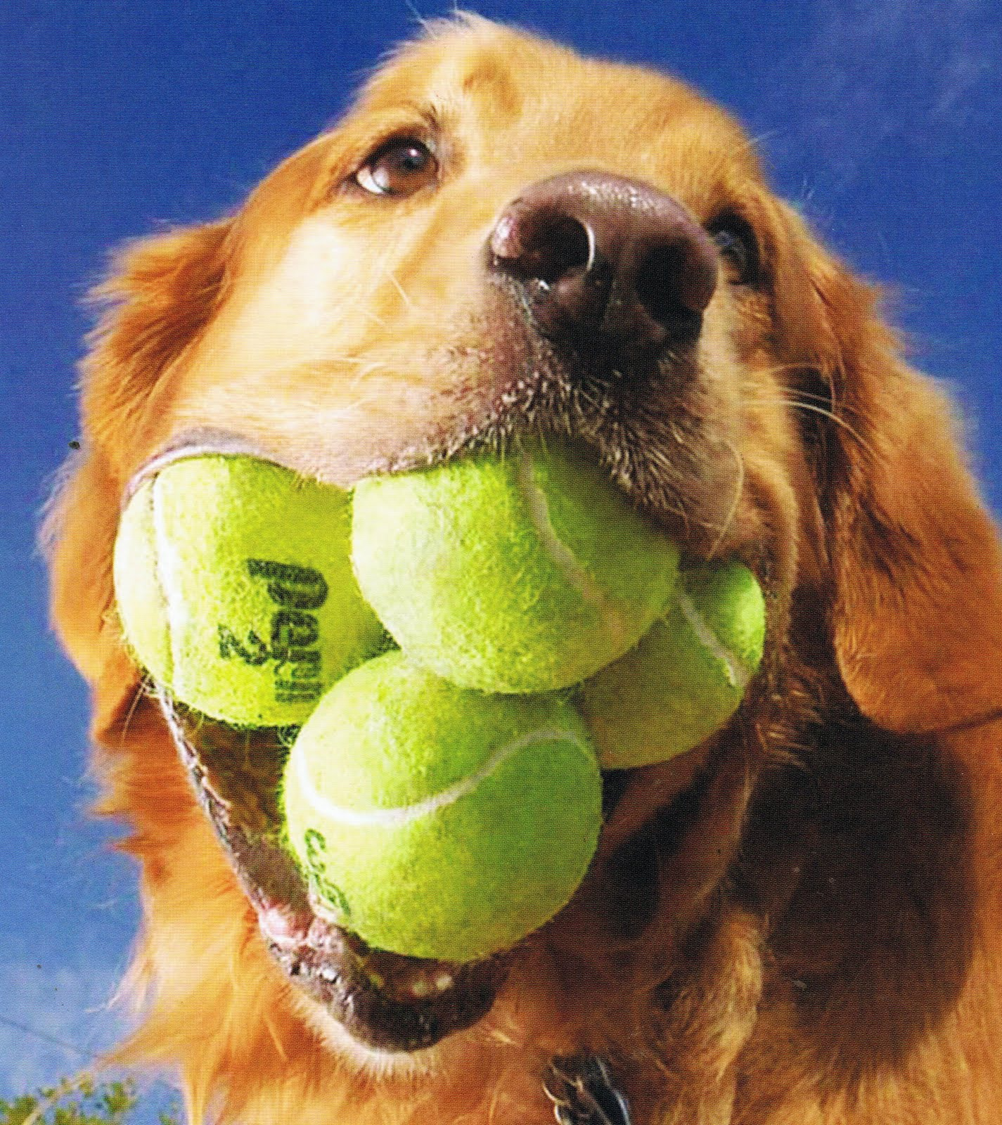 Dogs Like Tennis Balls