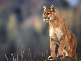 Mountain Cougar supposedly represents aging, worn out women, there you go..