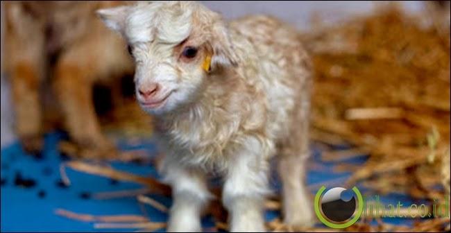Noori, Domba Kloning d! Kashmir