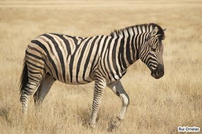 Garis-garis Tubuh Zebra Bukan untuk Kamuflase