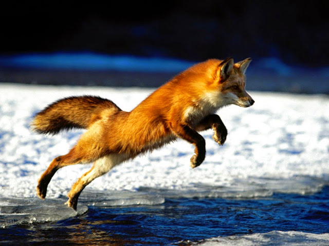 17871-Fox Animal HD Wallpaperz
