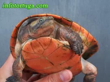 Emydura subglobosa - Tortuga de cuello corto