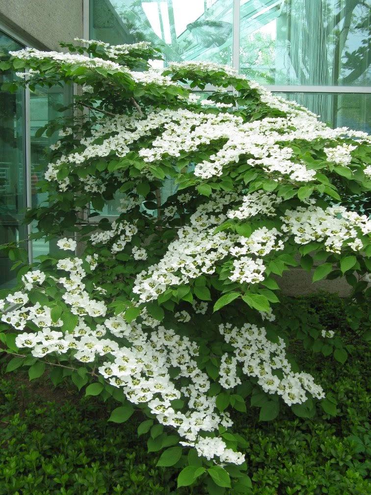 Royal Botanical Gardens doublefile viburnum plicatum lanarth by garden muses-not another Toronto gardening blog