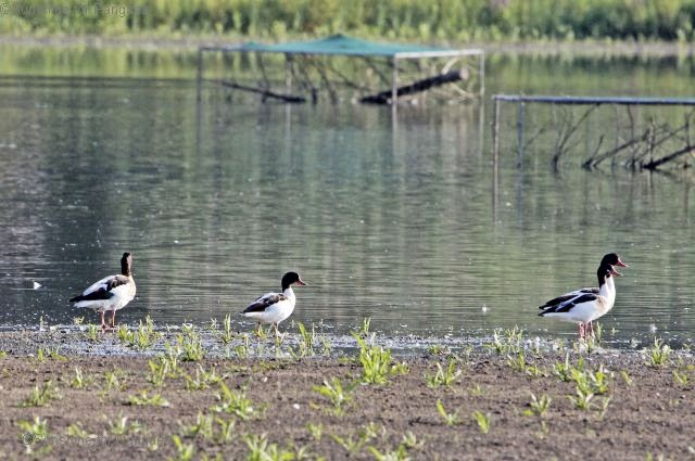 Common Shelducks in Southern Germany
