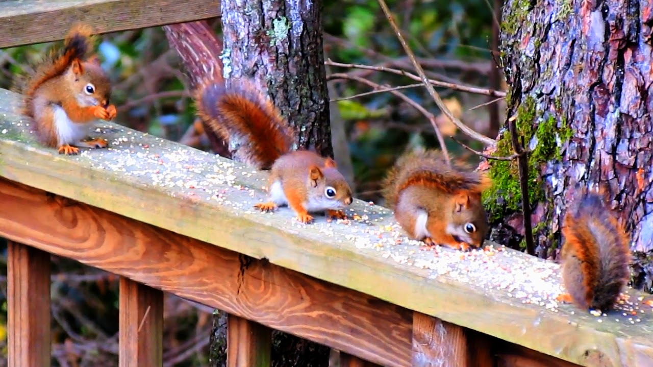 Cute Baby Red Squirrel Kittens