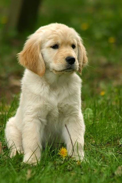 See more Golden Retriever Puppy http://cutepuppyanddog.blogspot.com/