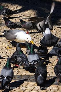 "alt=""seagul, gaivota, pidgeon, pombo, lutam por alimento, fighting for food"""