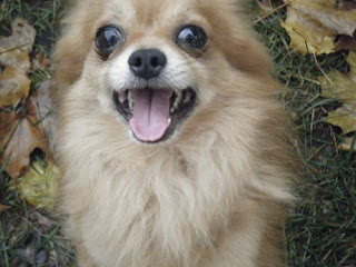 Cute Dogs Long Haired Chihuahua Dogs