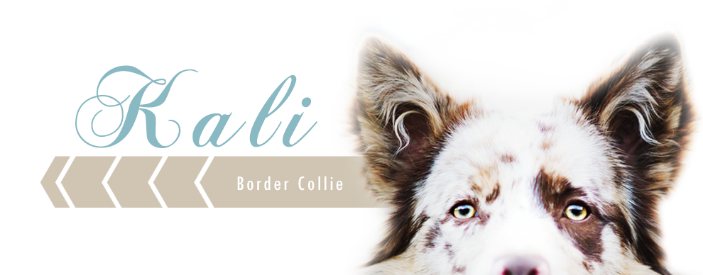 Kali Border Collie