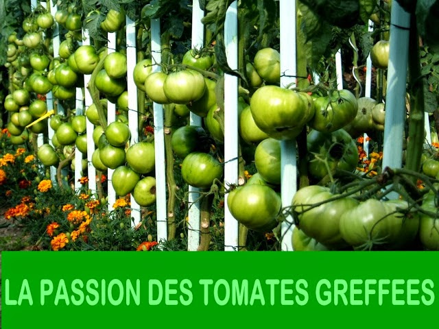 PASSION TOMATES