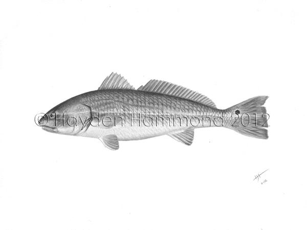 Redfish - Scientific