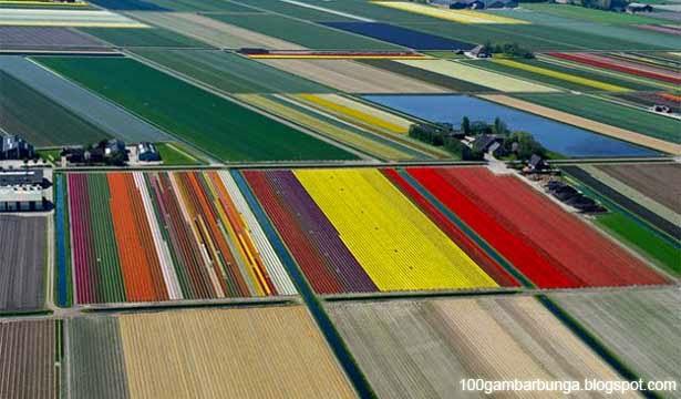 Pemandangan Bunga Tulip di Belanda