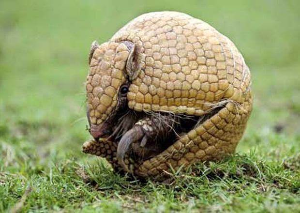 Hình ảnh thực con armadillo