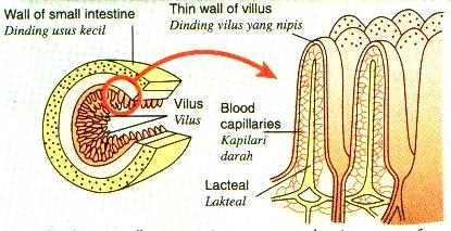 Penyerapan makanan oleh vilus dalam usus kecil sistem pencernaan manusia
