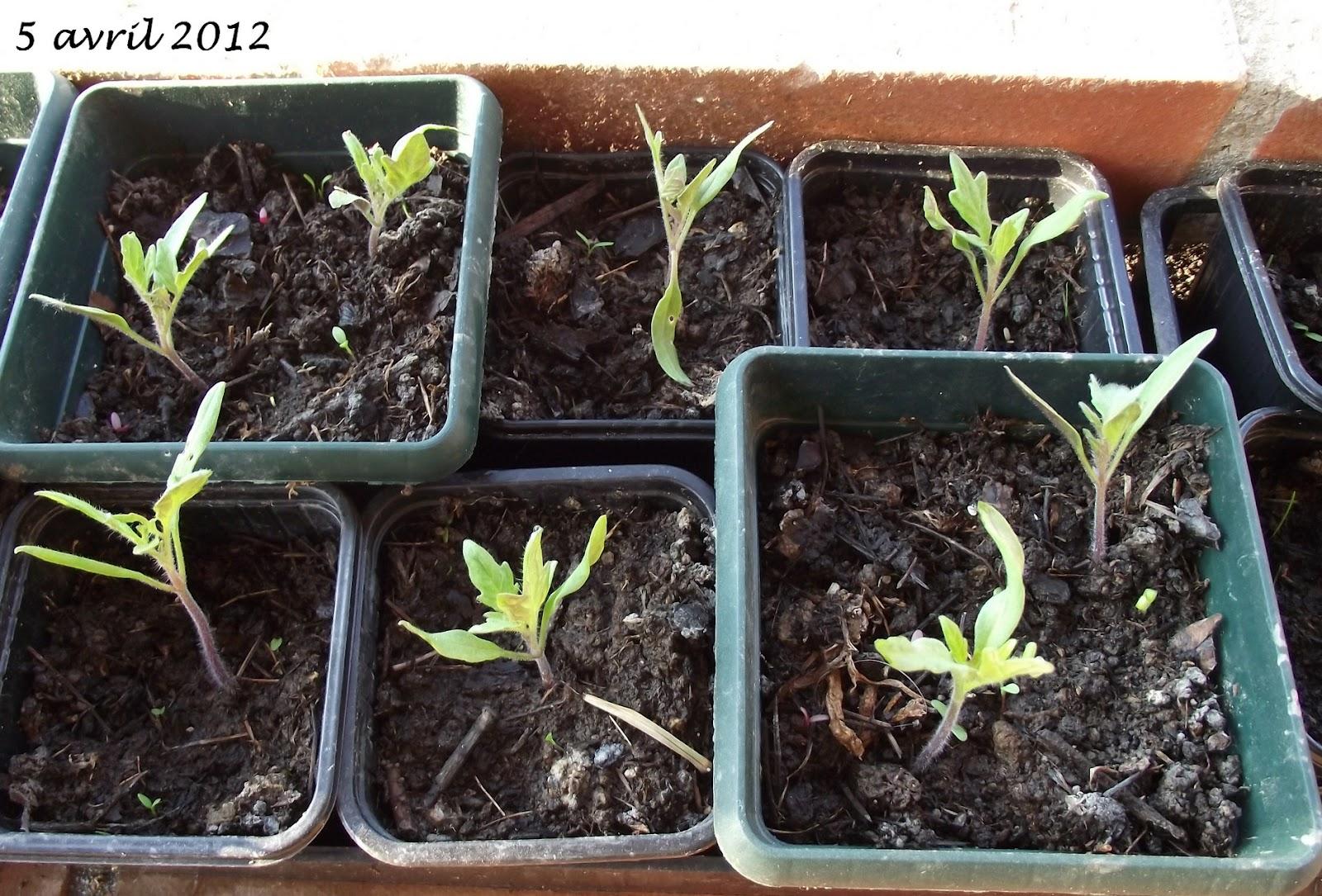 Pigeonnieresplendy2 mes semis de tomate - Faire des semis de tomates ...