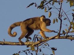 mono araguato