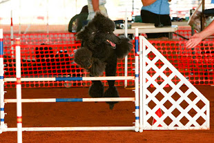 Evan in Jumps and Weaves at the AKC Agilty Trial November 2011