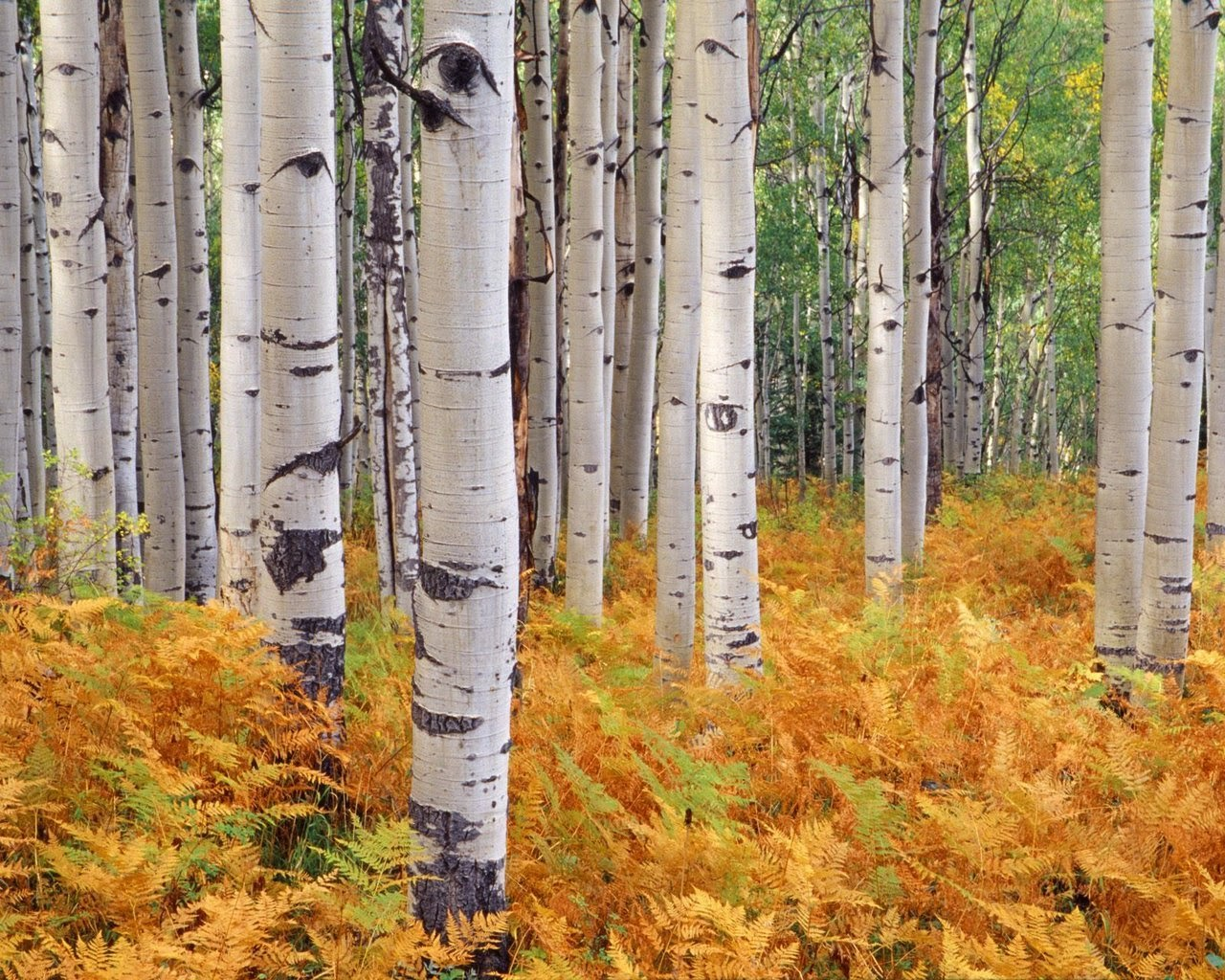 Benefits Of Birch Tree For Health