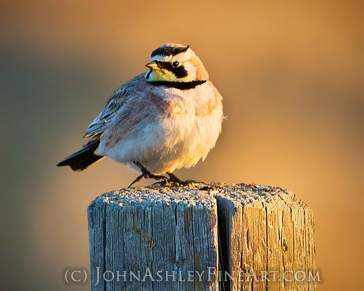 Male horned lark (c) John Ashley