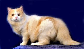 Harga Kucing Ras Persia Anggora