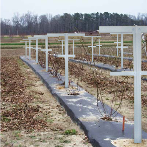 how to grow raspberries on a trellis
