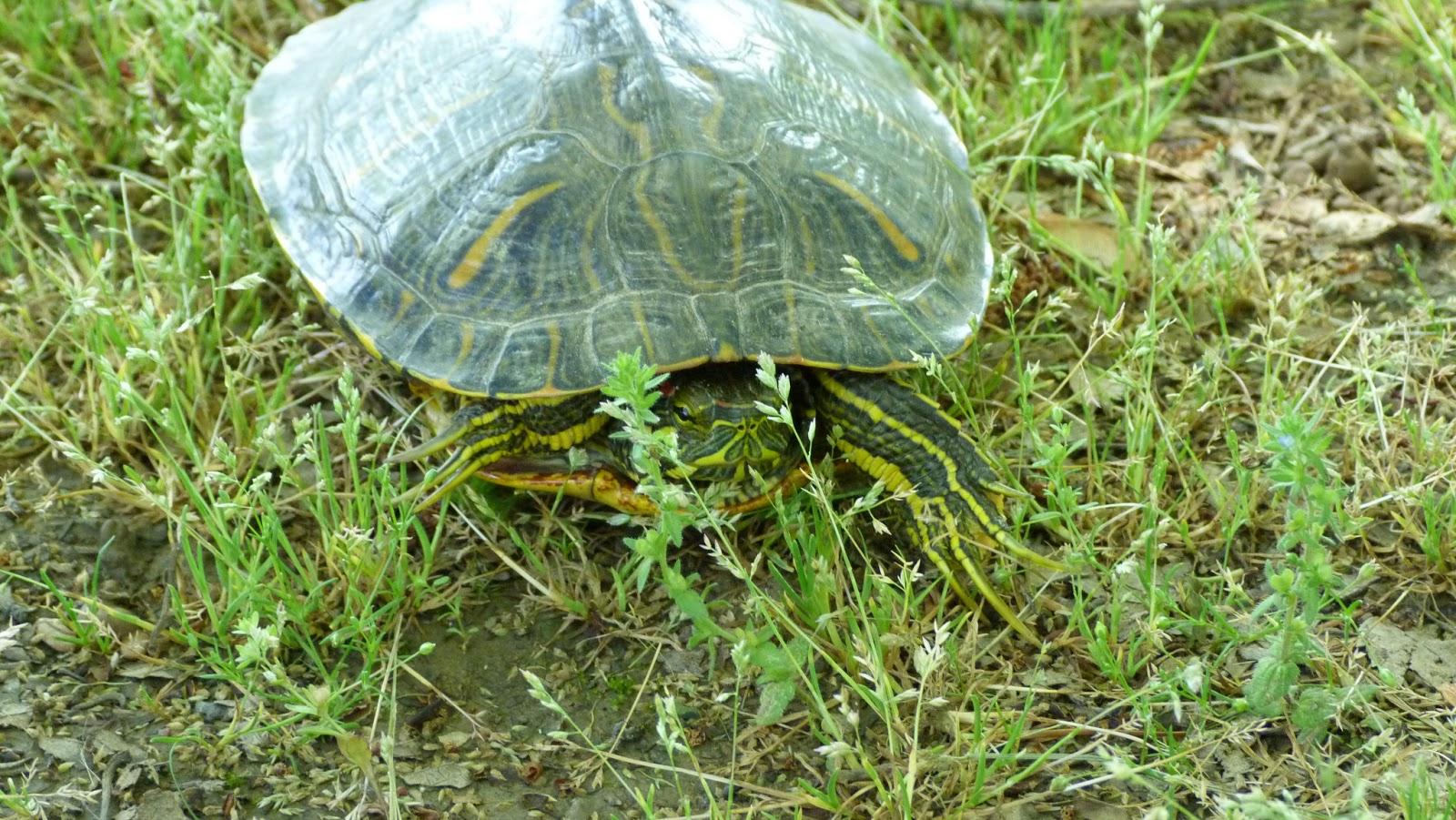 in my backyard issue 11 turtles tortoises or terrapins