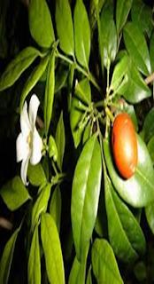 Kemuning (Murraya paniculata)
