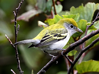 Chestnut-sided Warbler First Year Bird