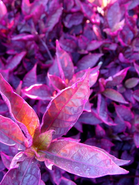 Fuchsia colored leaves photography by ChatterBlossom