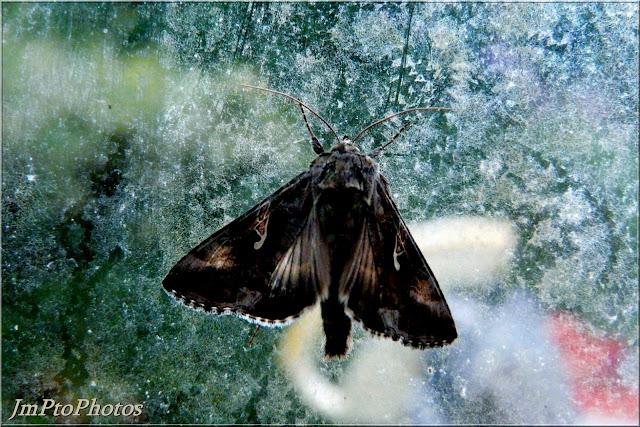 Jmptophotos papillons de nuit - Gros papillon de nuit dangereux ...
