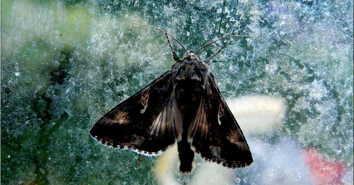 Jmptophotos papillons de nuit - Signification papillon de nuit ...