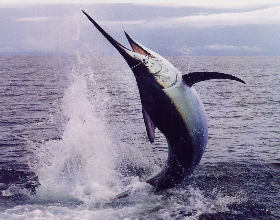 Atlantic blue marlin animalia enthusiasts for Atlantic game fish