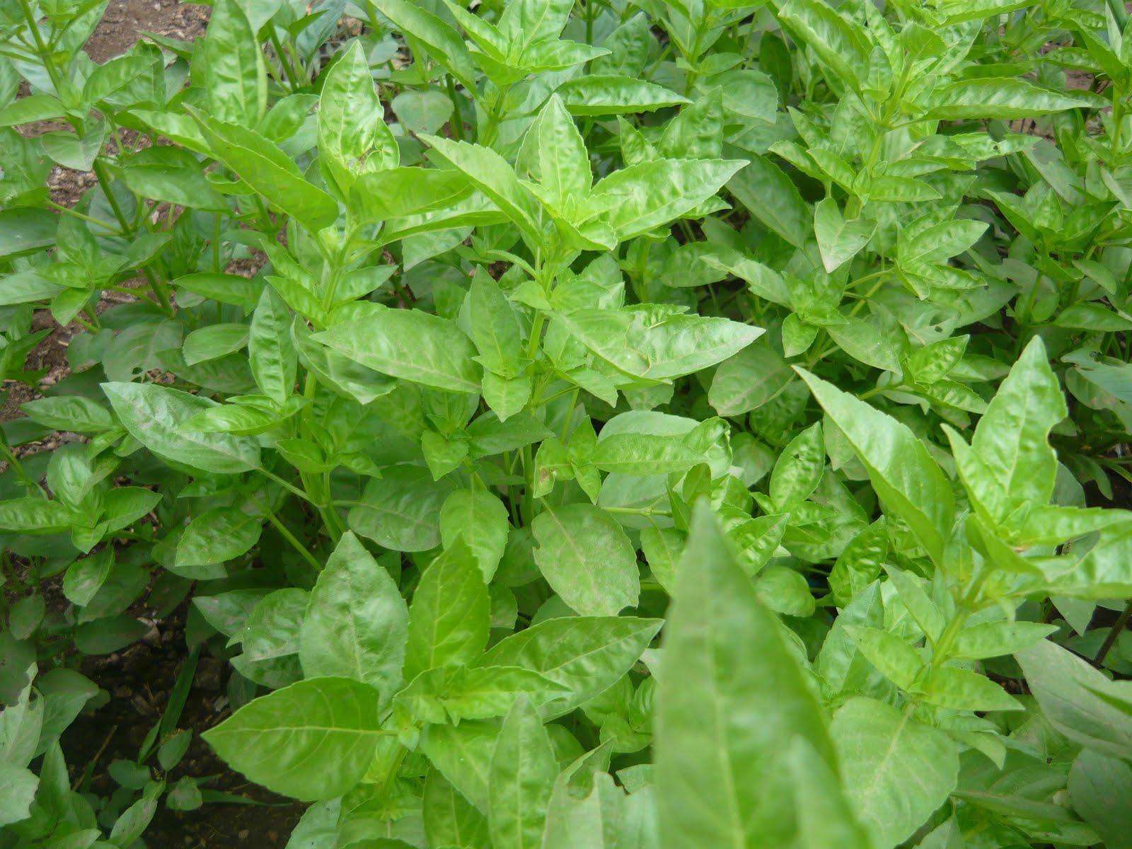 Alternativa ecol gica principales hierbas arom ticas y for Hierbas aromaticas y medicinales