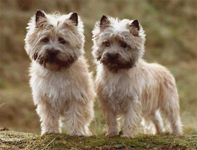 Cairn Terrier Puppies on The Dog In World  Cairn Terrier Dogs