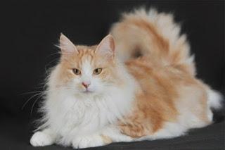 Gambar Kucing Anggora Lucu dan Imut 100010