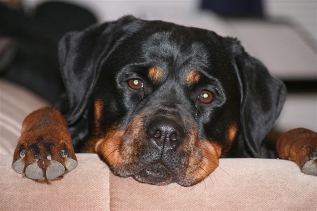 General health problems in Rottweilers
