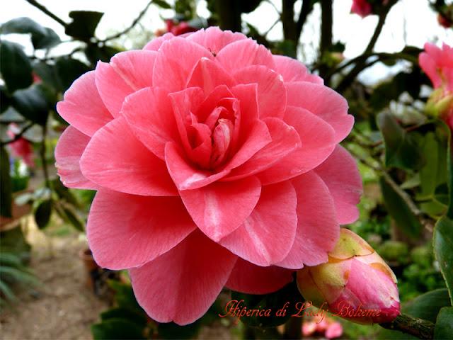 hiperica_lady_boheme_blog_di_cucina_ricette_gustose_facili_veloci_camelia