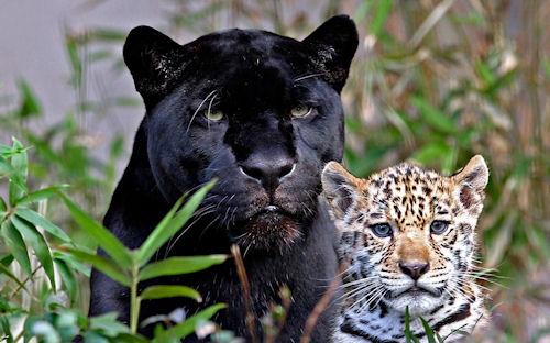 Animales - Fotografías de Panteras Negras - Felinos - Black Panthers