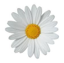 The little white flower with the yellow middle the little white the little white flower with the yellow middle mightylinksfo
