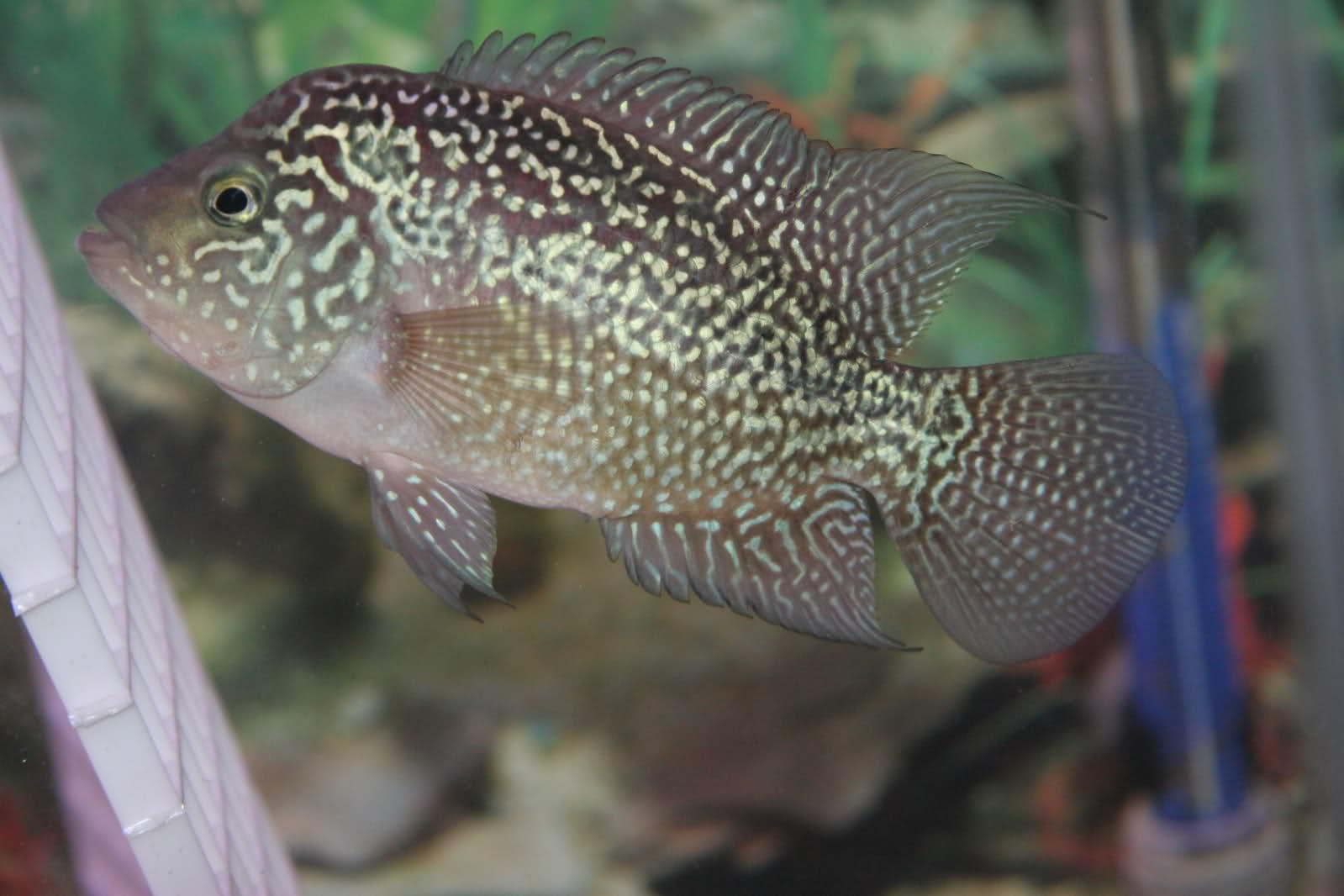 Marine aquariums dimond koi fish for Small koi fish for sale