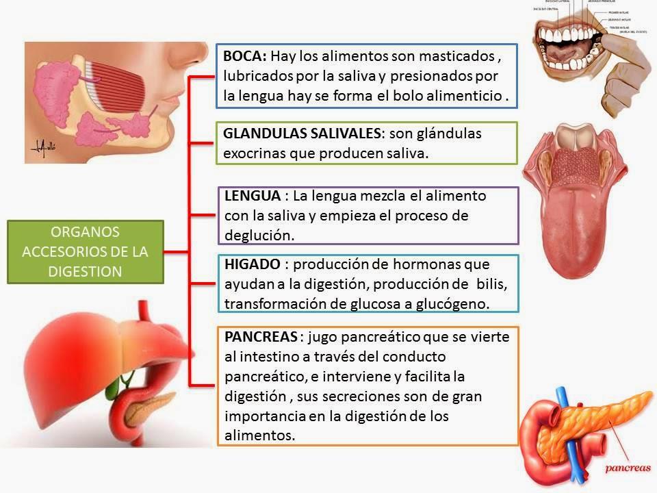 Organos Accesorios Del Sistema Digestivo | Blog De Fisiologia Medica