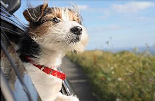 perro viajando, perro de viaje, de viaje con el perro, viajar con animales, viajar con la mascota, como viajar con la mascota, de vacaciones con mascotas, mascotas de vacaciones