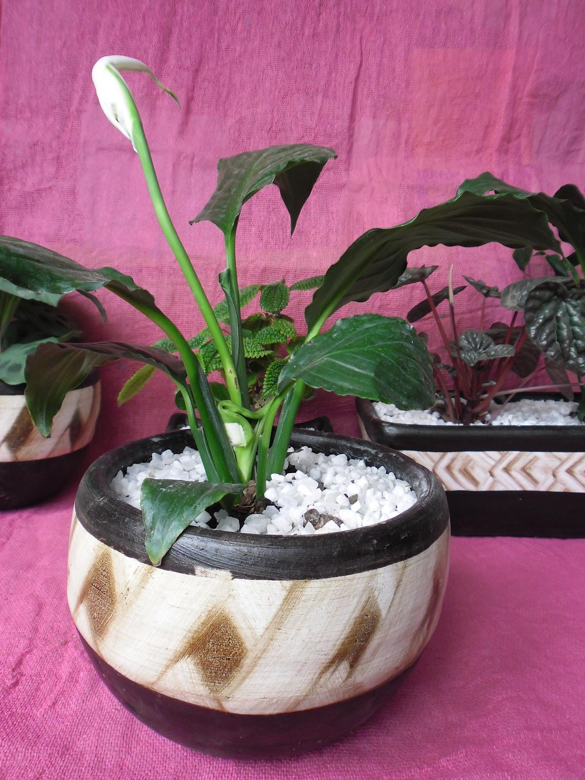 Flores mexicanas piante e fiori regala belleza - Planta cuna de moises ...