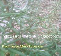 rosmery sebagai tanaman pengusir nyamuk