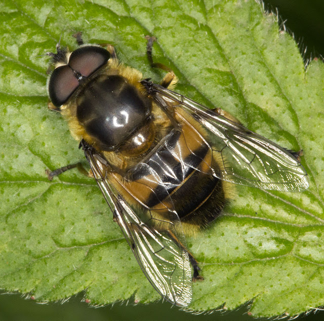 Myathropa florea.  Hoverfly.  Joyden's Wood, 12 May 2012.