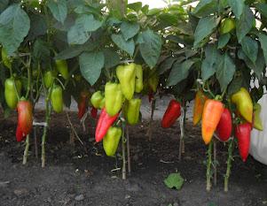 Некоторые распространенные сорта перцев для открытого грунта