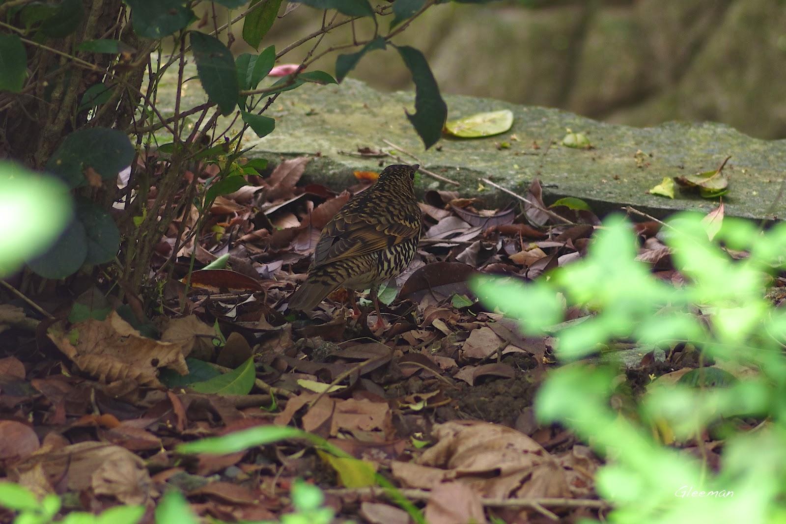 這隻虎鶇經常在沈砂池旁出現。
