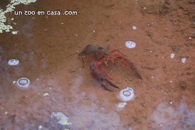 Cangrejo americano en el agua