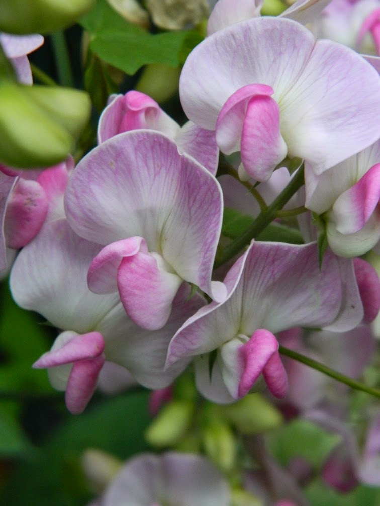 Perennial sweetpea Lathyrus latifolius by garden muses-not another Toronto gardening blog