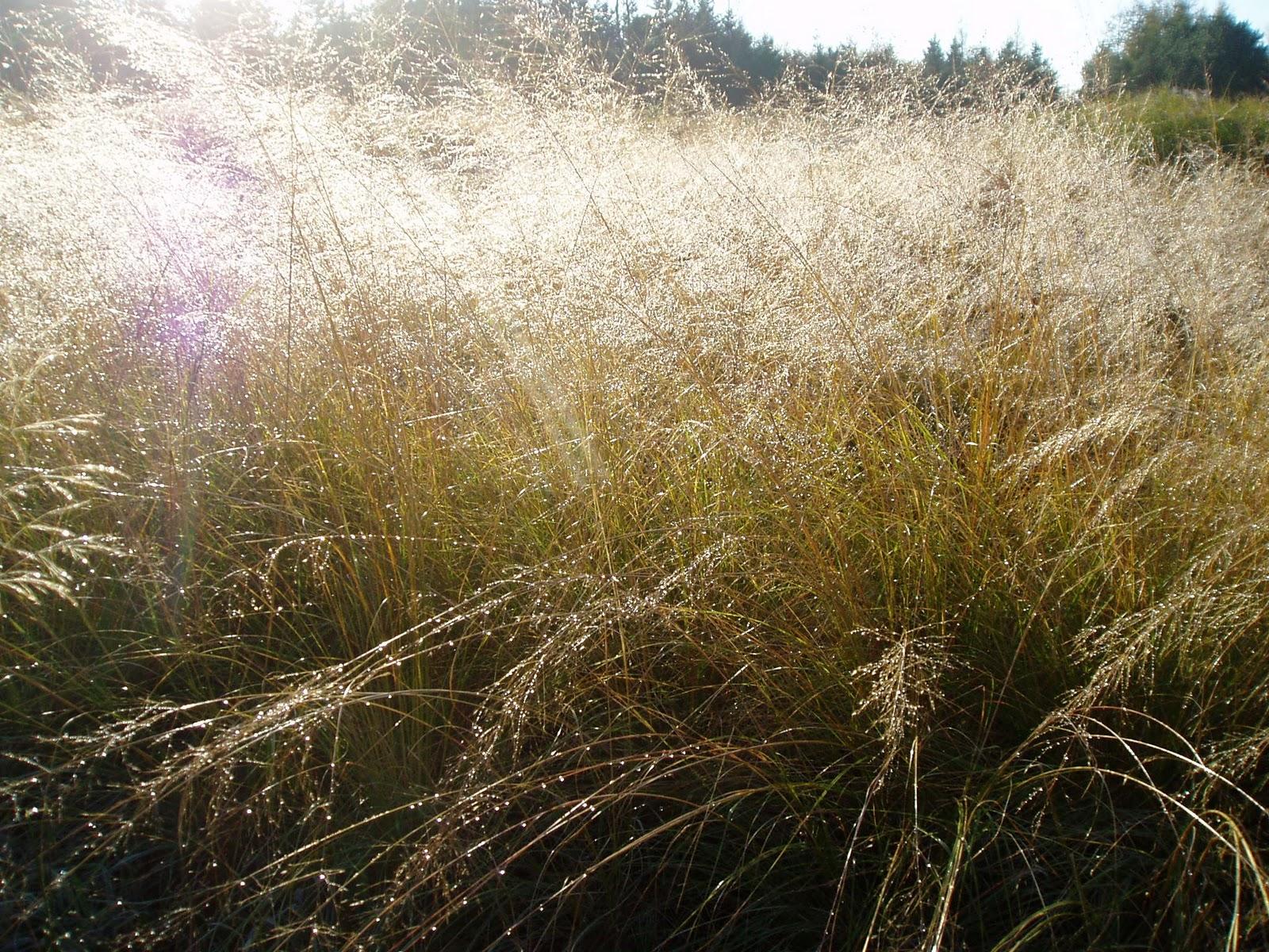 Lovegrass farm sporobolus heterolepsis prairie dropseed for Ornamental prairie grass
